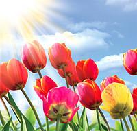 Фотообои Тюльпаны размер 140 х 145 см