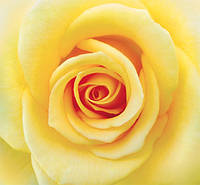 Фотообои желтая  роза