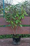 Рододендрон ( 70-80см ) Розеум Елеганс (Rhododendron Roseum Elegans ), фото 4