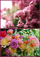 Гидролат Розы - микс свежих лепестков Розы чайной, садовой и шиповника