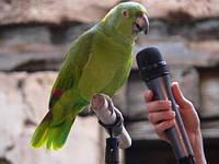 Как научить говорить попугая?