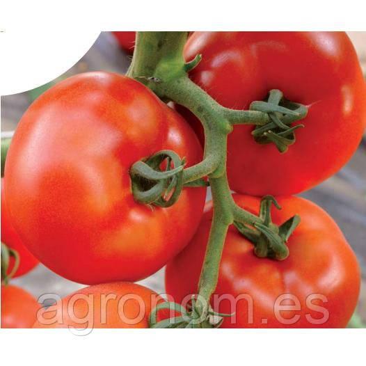 Насіння томату Логур F1 100 насінин Rijk Zwaan