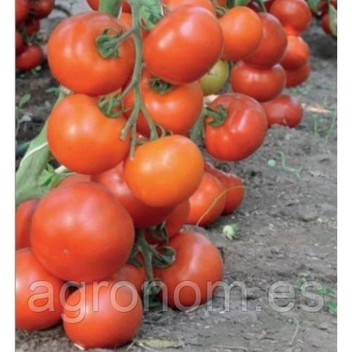 Насіння томату Дофу F1 1000 насінин Rijk Zwaan