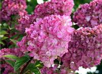 Гортензия метельчатая Сандей Фрайз / Hydrangea paniculata  Sundae Fraise