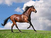 Печать съедобного фото - А4 - Сахарная бумага - Лошадь №1