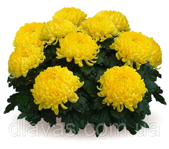 Крупноквіткова кімнатні Жовта