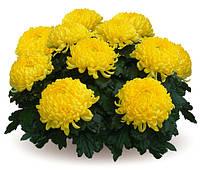 Крупноцветковая горшечная Желтая