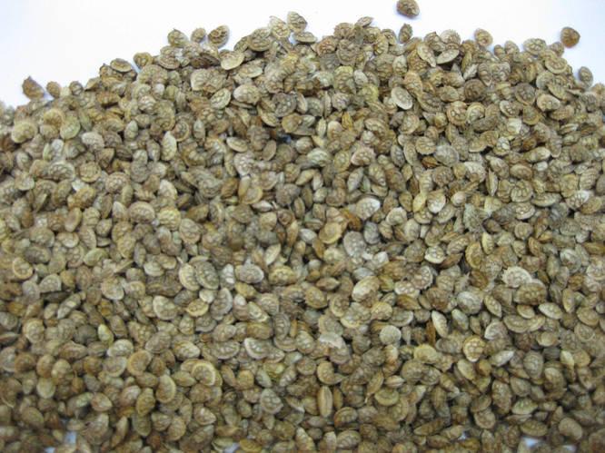 Эспарцет семена фасовка 500г, фото 2