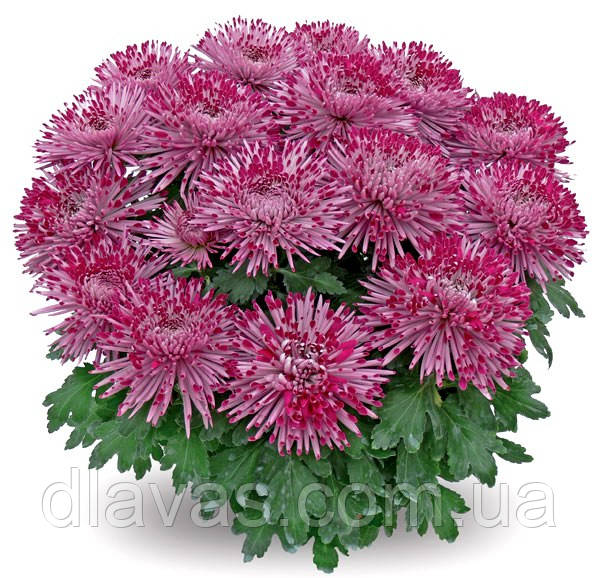 Крупноцветковая горшочная Сантош