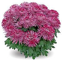 Крупноцветковая горшочная Сантош, фото 1