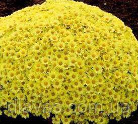 Черенок хризантемы мультифлора Верона Джей