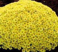 Черенок хризантемы мультифлора Верона Джей, фото 1