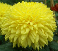 Крупноцветковая желтая хризантема Лувандер Квин
