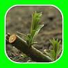 Саженцы вербы энергетичной верби енергетичноі Salix