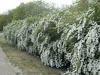 Спирея для жывой изгороди, фото 1