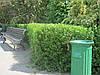 Крыжовник колючий в зеленом жывом заборе