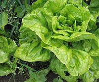 Семена салата Берлинский Желтый, 0,5кг