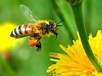 Пчёлы Карпатка.Пчелопакеты и пчелиные плодные меченые матки карпатской пчелы