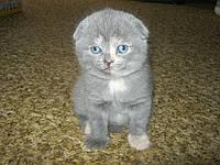 Вислоухий шотландский котенок