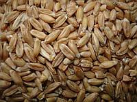 Пшеница, Спельта 1кг.