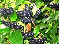 Арония черноплодная (рябина черноплодная)