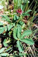 """Настойка """"Сабельника""""-отложение солей, ревматоидный артрит, противовоспалительное средство, снижает артериальн"""