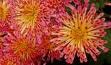 Корейская хризантема Гранатовый браслет (маточник), фото 2