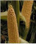Купить семена Кукуруза ВЕГА Ф1( 500 г)