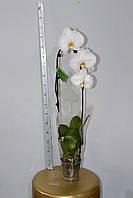Орхидея Фаленопсис каскад. Опт и розница