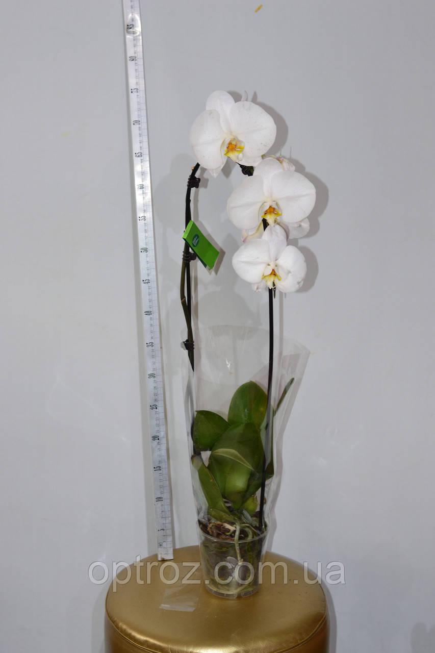 bc54bd175 Орхидея Фаленопсис каскад. Опт и розница - OPTROZ Оптовая база цветов Одесса.  Цветы оптом