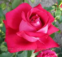 Саженцы роз Дам де Кер. (вв). Ч/г роза.