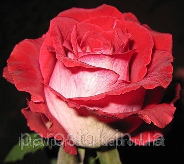 Роза Люксор. Чайно-гибридная. (c).