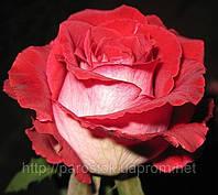 Роза «Люксор». Ч/г., доставка почтой.