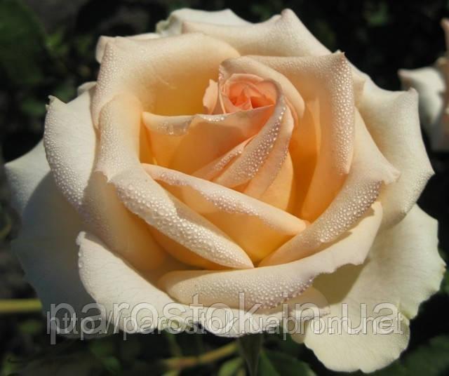 Роза Версилия. (ввв). Чайно-гибридная роза.