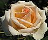 Роза Версилия. Чайно-гибридная роза.