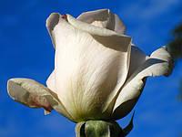 Роза «Гранд Могул». Чайно-гибридная роза.