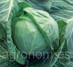 Семена капусты б/к Адема F1 2500 семян (калиброванные) Rijk Zwaan