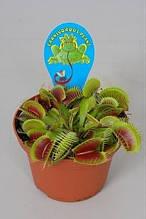 Экзотическое растение хищник Венерина мухоловка мухоед dionea muscipula