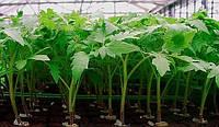 Чем поливать рассаду помидор для роста?