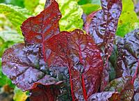 Съедобные растения: какие листья можно есть