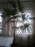 Трахикарпус живое прекрасное растение
