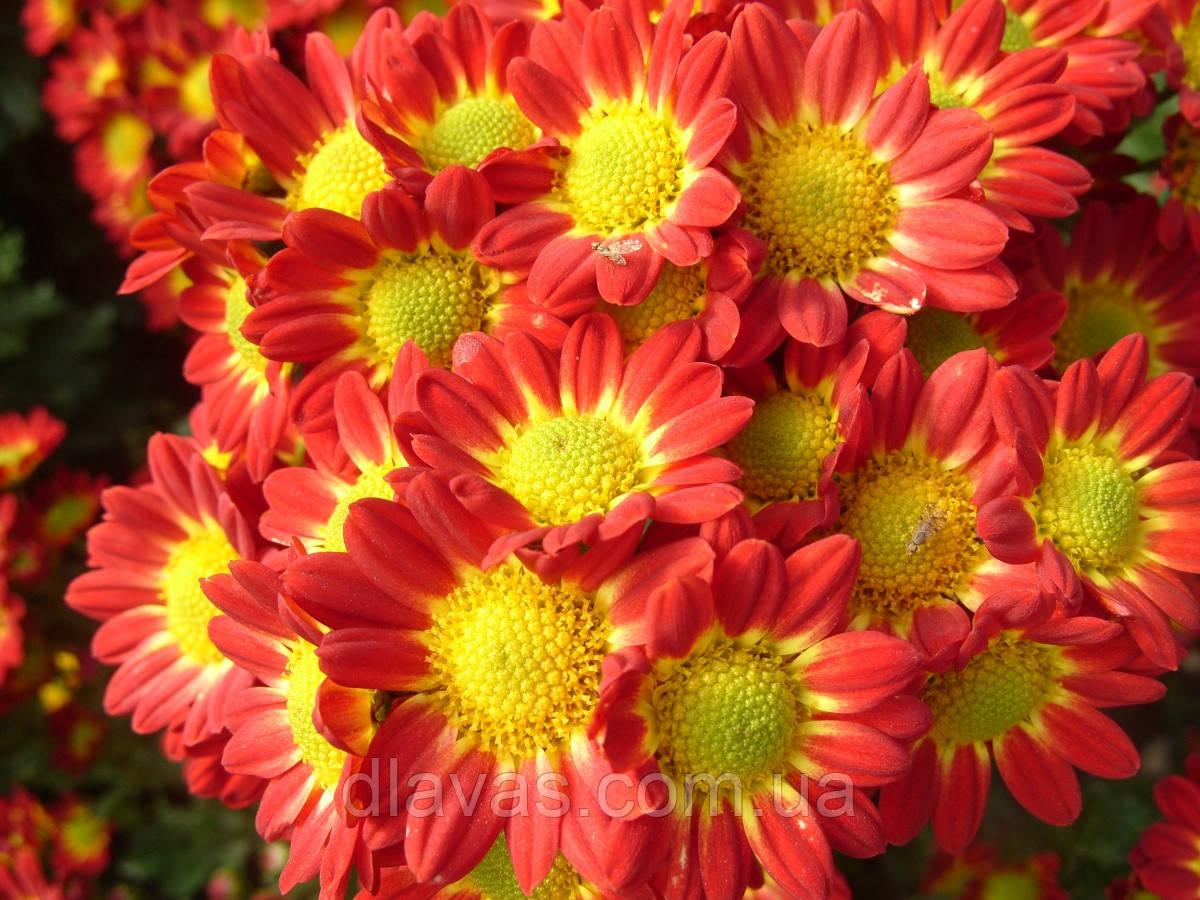 Хризантема веточная РОМА черенок