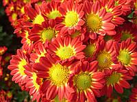 Хризантема веточная РОМА черенок , фото 1