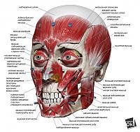 Постер глянцевый - Мышцы лица, 64x60см