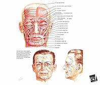 Постер глянцевый - Мышцы лица, 71x60см