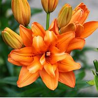 Лилия азиатская махровая Orange Twins