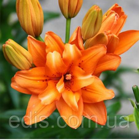 Лилия азиатская махровая Orange Twins (Оранж Твинс) 1 луковица 12/14, фото 2