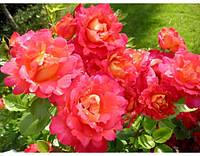 Роза Арлекино декор