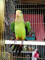 Барабандовый Розкішний папуга. Малюки ручного докормления