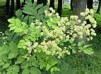 Аралия манчжурская ( 50 грамм)